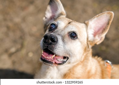 A redhead dog on the street sits its back, a serious dog muzzle, ears are worth, a redhead Fox, cheerful it is a watchdog