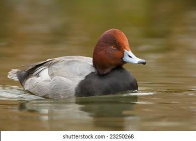 Redhead duck (Aythya americana) swimming