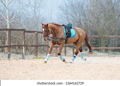 The redhead horse runs in a circle on the cord in the left. The exercise of a young horse in the ammunition.