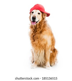 redhead Retriever in brown baseball backwards isolated on a white background