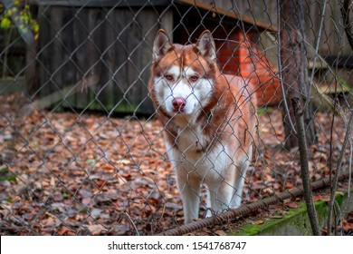Redhead Siberian husky dog in cage with chain link fence. Dog looks through the chain link fence at camera. Autumn day.