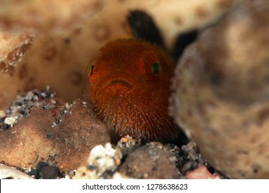 Redhead Stylophora Goby (Paragobiodon echinocephalus) in Lembeh Strait, Indonesia