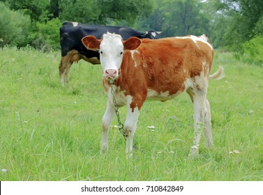 redhead with white spots of a calf on a background of green grass and trees