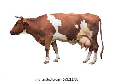 Rotkopf mit weißen Flecken einer Kuh Milchrasse. Einzeln.