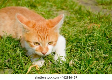 Redheaded cat in the garden