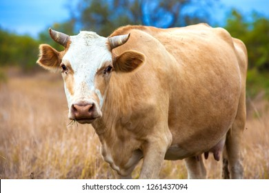 A red-headed cow with horns wide-spread ears and udders stands in the middle of a pasture and chews dried yellow autumn grass. Animal in the field of the Astrakhan region, Russia.