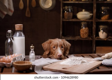 A redheaded dog is cooking in the kitchen. A pet cook. Nova Scotia Duck Tolling Retriever, Toller