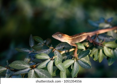 Red-headed Lizard, Eastern Garden Lizard, Common Garden Lizard, Bloodsucker, Changeable Lizard (Calotes versicolor)