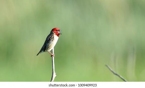 Red-headed Quelea, Quelea erythrops