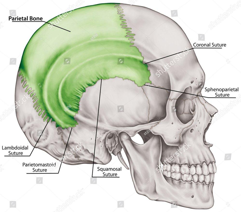 The Parietal Bone Of The Cranium The Bones Of The Head Skull The