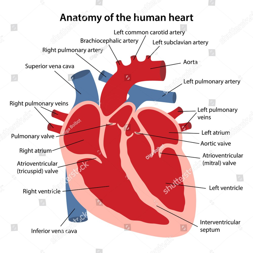 Human Heart Muscle structure Anatomy infographic chart diagram all ...