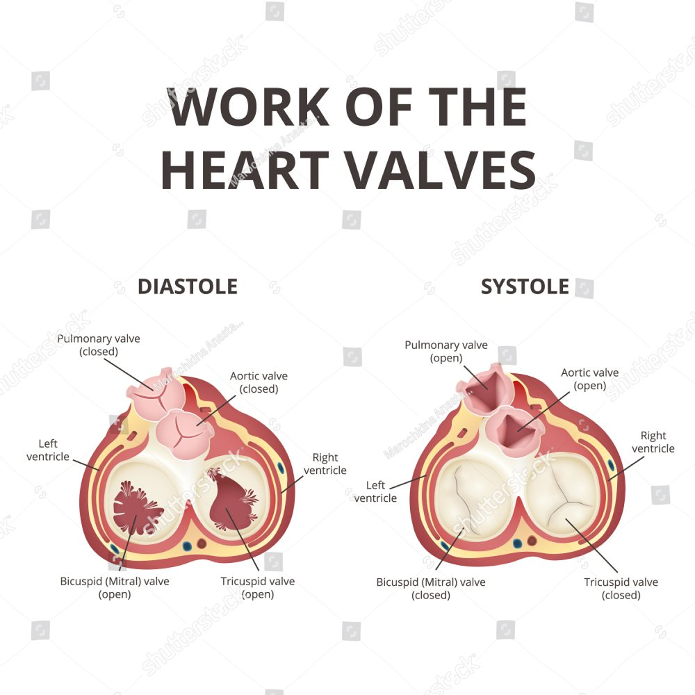 Pulmonary Valve Anatomy Topsimages