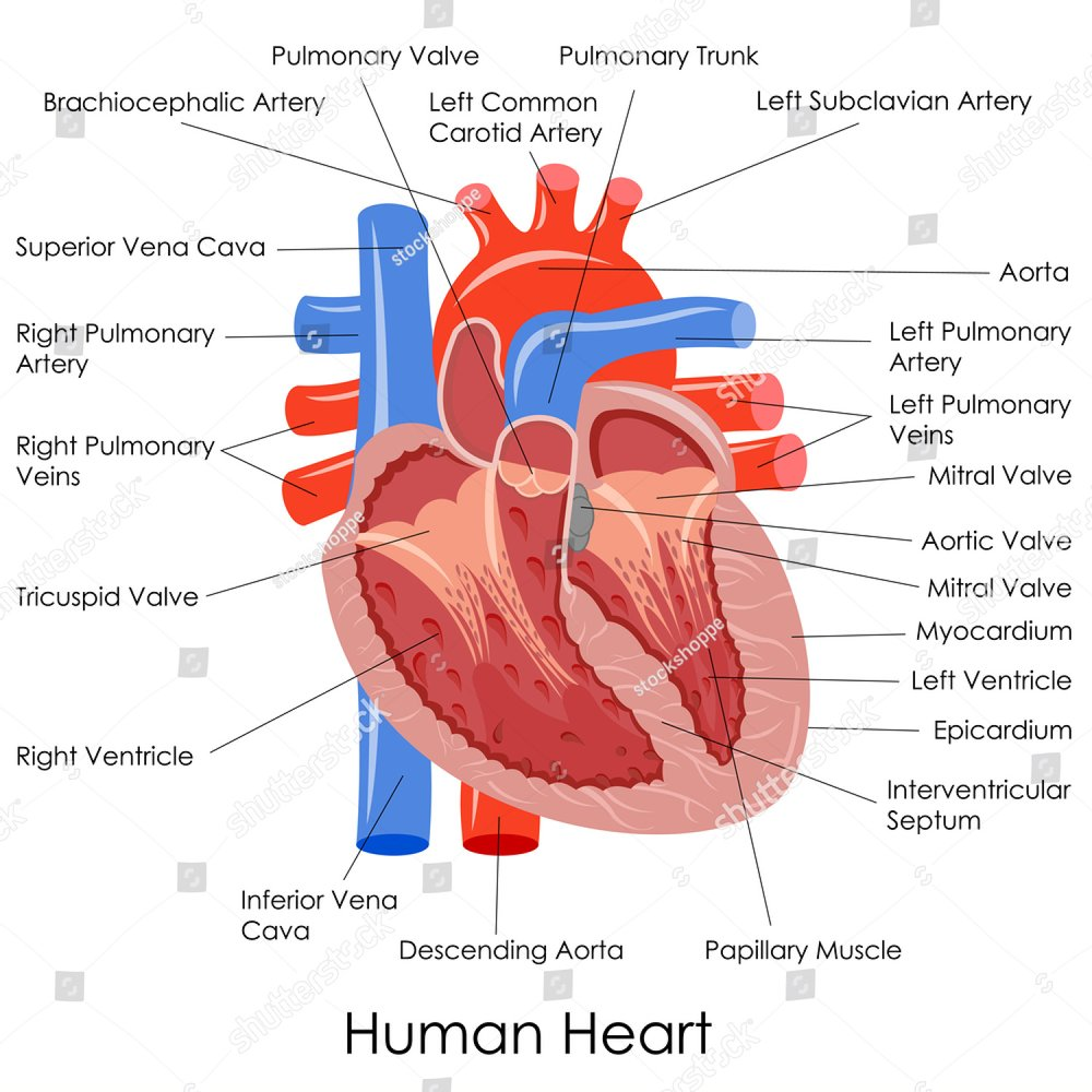 anatomy of the human heart, an organ in a cut, the operation of the ...