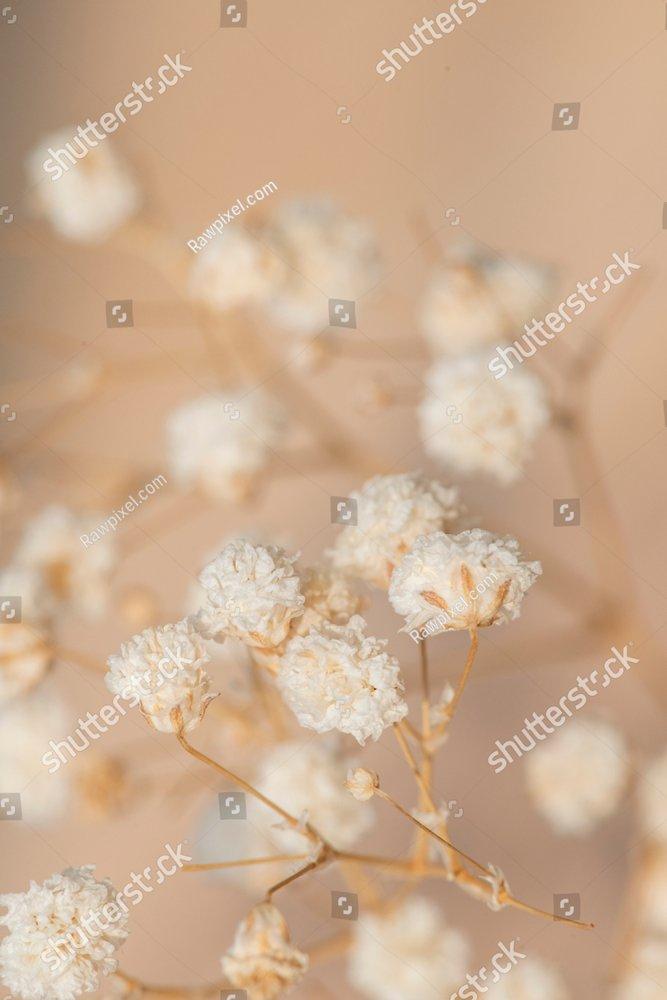 Dried gypsophila flowers macro shot