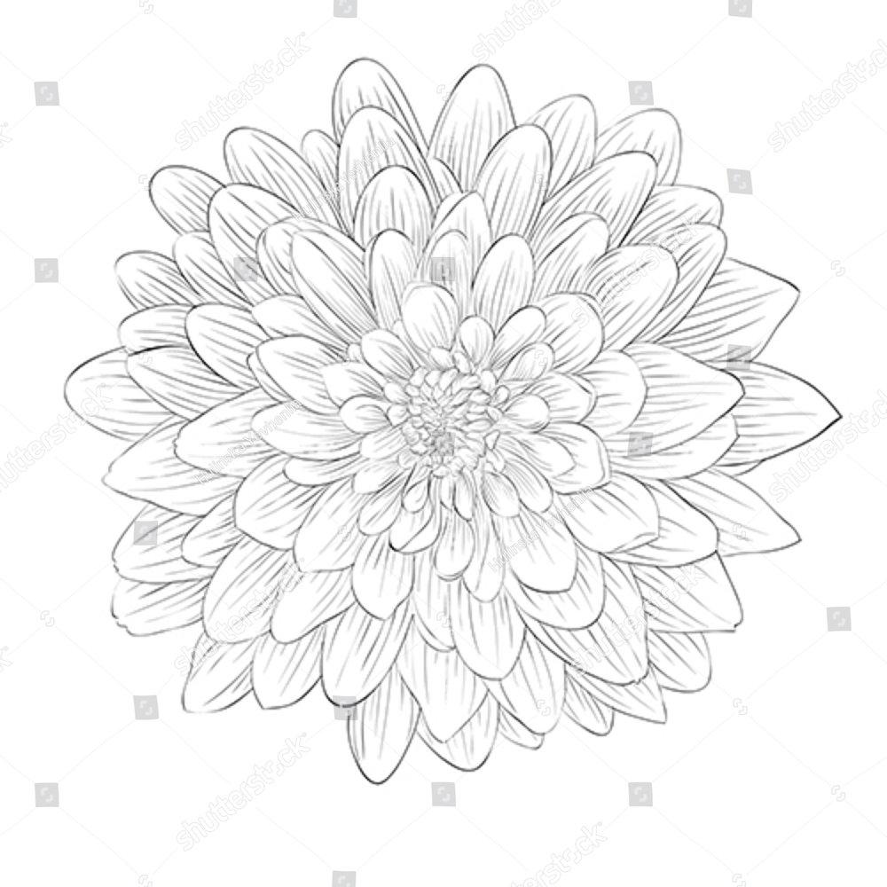 Beautiful Monochrome Black And White Dahlia Flower Isolated On White