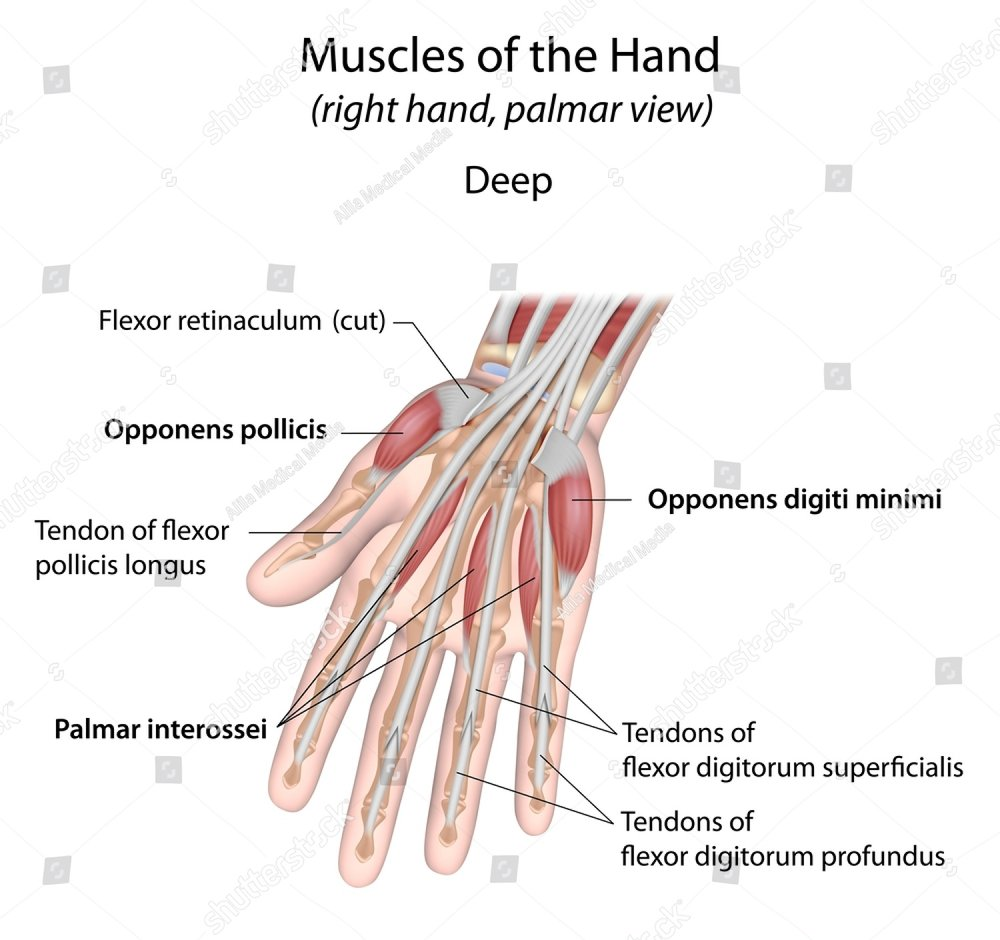 Hand Muscles Palm View Deep Layer Labeled Ez Canvas