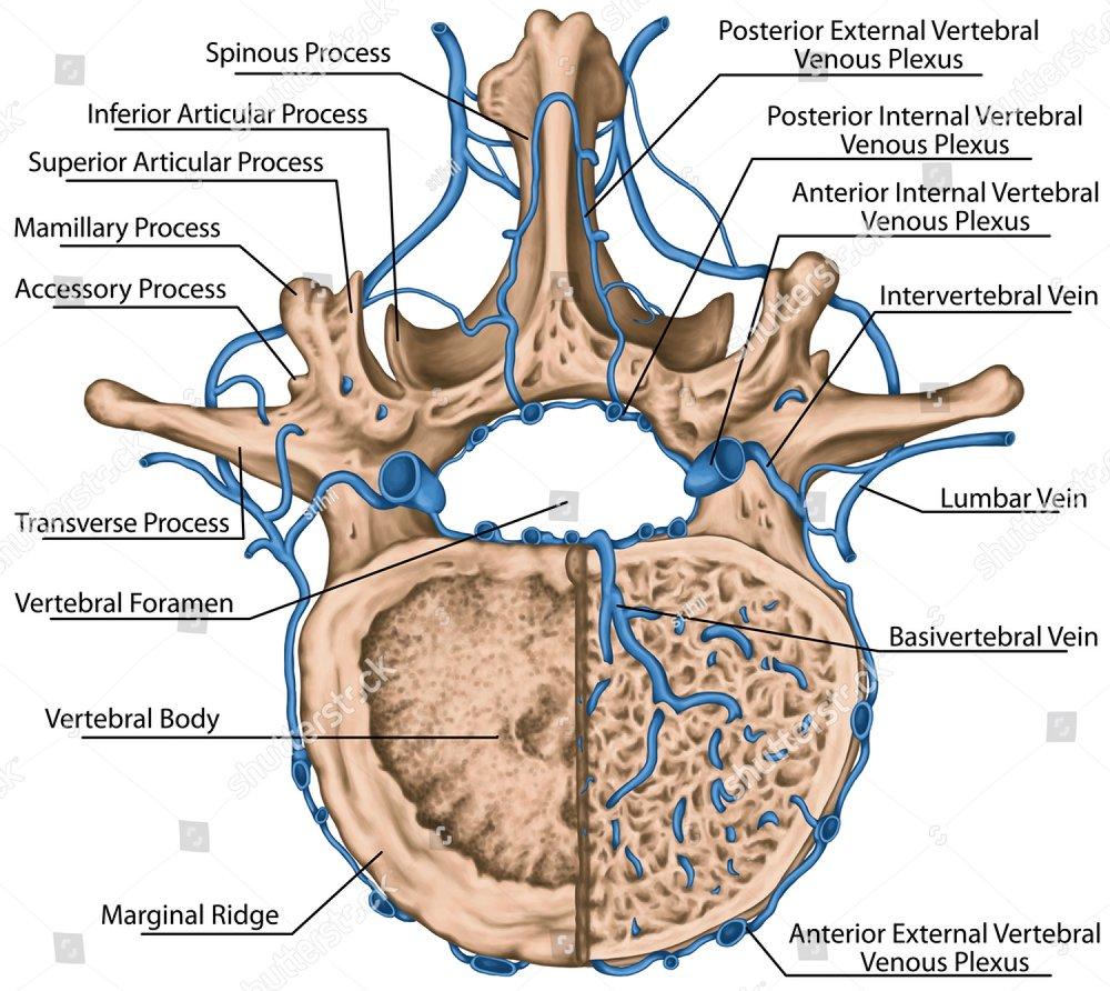 Second Lumbar Vertebrae Topsimages