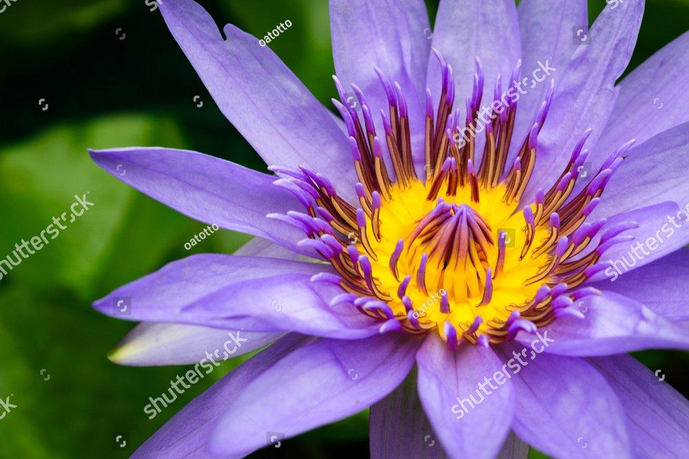 Purple Lotus Ez Canvas