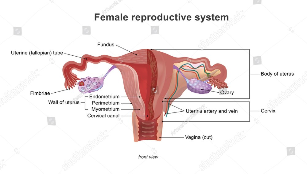 Female Reproductive System The Uterus And Ovaries Scheme Phase Of