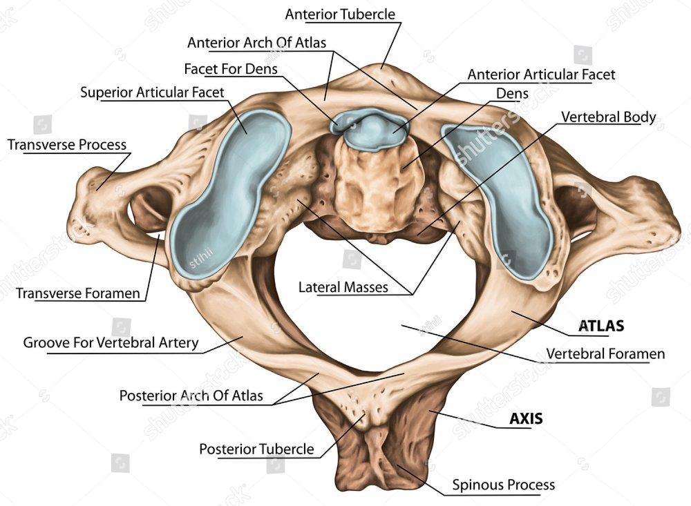 Cervical Spine Vertebral Morphology First And Second Cervical
