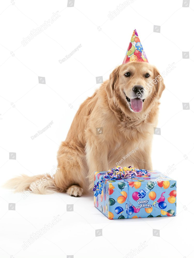 Puppy Golden Retrievers With Party Hats On