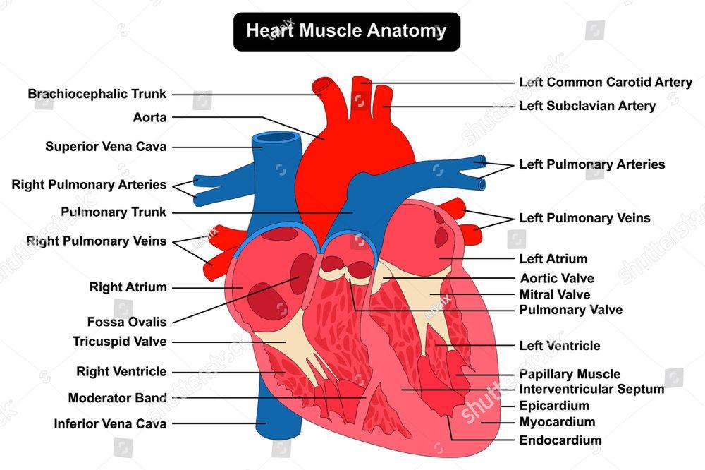 Anatomy Of Human Heart Ez Canvas