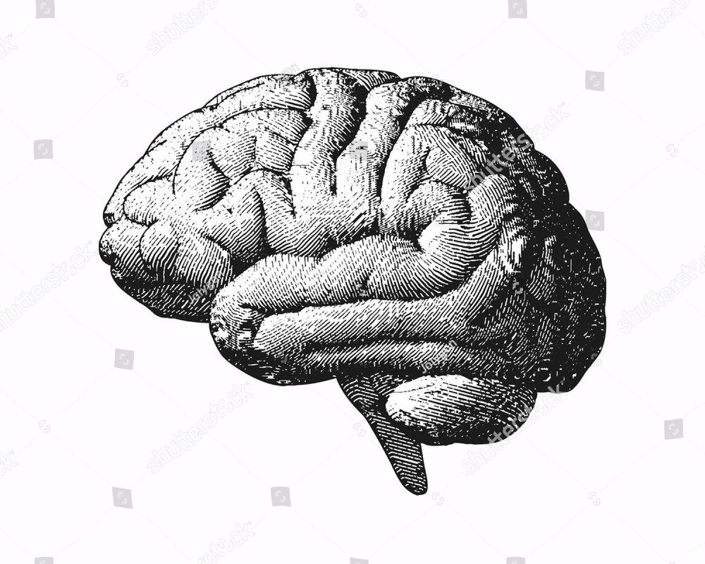 Human brain on white background | EZ Canvas