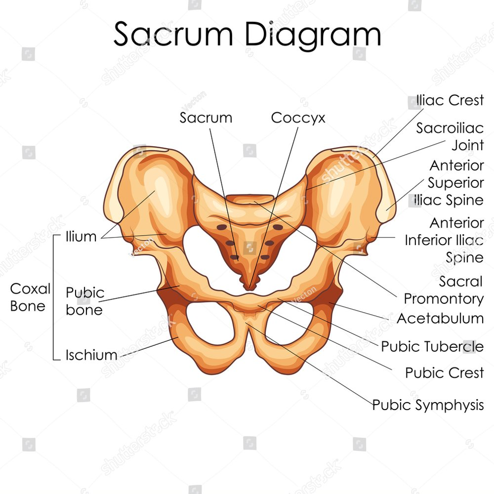 Medical Education Chart Of Biology For Sacrum Diagram Vector