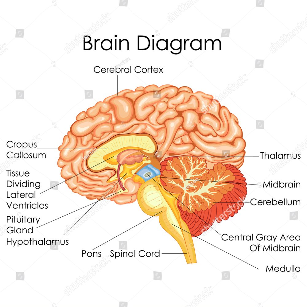 Brain Diagram Thalamus Anatomy Wiring Diagram Fuse Box