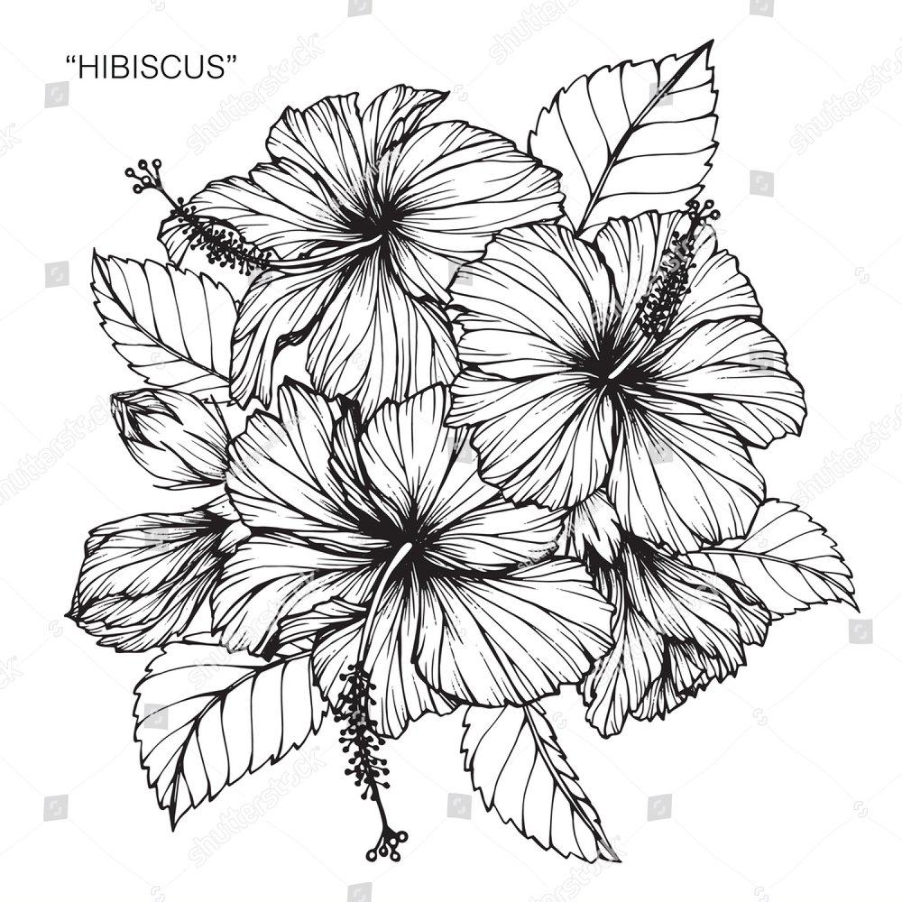 Hibiscus Flowers Drawing And Sketch With Line Art On White