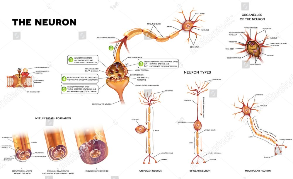Different kinds of neurons | EZ Canvas