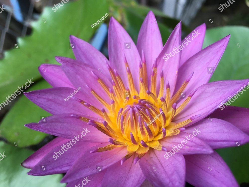 Pollen And Petals Of Lotus Flowers With Green Leaf Background Ez
