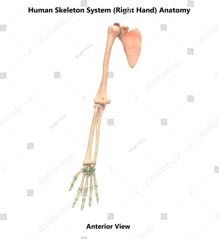 3d Illustration Of Human Skeleton System Right Hand Joints Anatomy