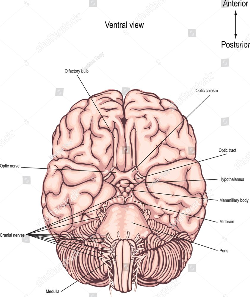 Hypothalamus infographic image. Detailed anatomy of the human brain ...