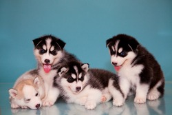 four puppies of husky on a blue background.