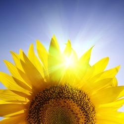 Close-up of sunflower over blue sky