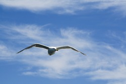 Seagull flying with blue sky and feathery clouds