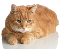 A Fat Orange Tabby Cat Poses Lying Down on White with a Reflection