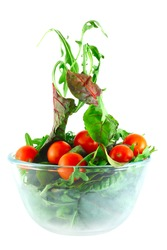 Rucola, Chard and cherry tomatoes in bowl flying salad lightness concept