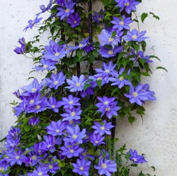 Beautiful Clematis Flower Vine on a Trellis