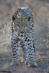 Male Leopard very alert (Panthera pardus) in South Africa