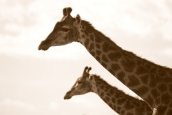 Two giraffe in this monochrome silhouette style photo taken in eastern cape,south africa