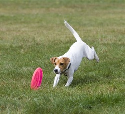 Jack Russell Terrier chasing a frisbee