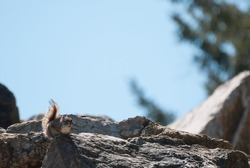Small gray squirrel perched on a rock