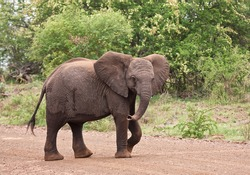 Young elephant walking over the road looking playful