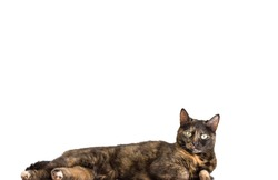 closeup of tortoiseshell cat standing over white background