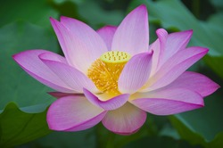 A bloom of the lotus