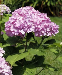 Large pink hydrangea blossom on stem with green leaves.