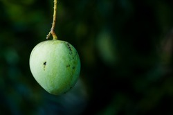 Green apple shaped mango hanging on the tree with dark background