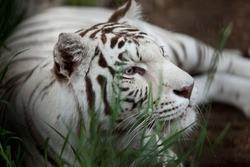 big white tiger lying on grass close up